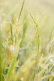 Groene rijst, Bokeh Stock Fotografie