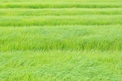 Groene rijstachtergrond in het gebied Stock Afbeeldingen