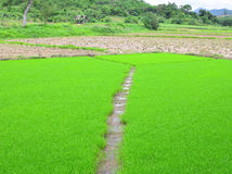 Groene rijstzaailingen Stock Foto