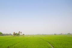 Groene rijstzaailingen Stock Foto's