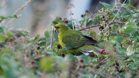 Groene Rosella - Platycercus-caledonicus of Tasmaanse rosella zijn species van papegaai inheems aan de eilanden van Tasmanige en  stock videobeelden