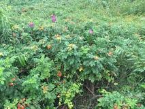 Groene rozebottelstruiken met bloemen en vruchten stock afbeeldingen