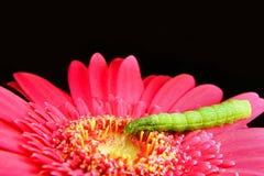 Groene Rupsband op een Roze Bloem stock foto's
