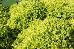 Groene Salade Royalty-vrije Stock Foto
