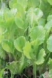 Groene salade. Stock Foto's