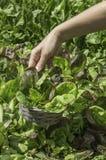 Groene salade in een mand Stock Foto