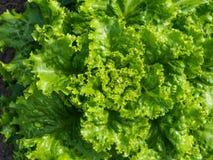 Groene saladeclose-up Royalty-vrije Stock Afbeeldingen