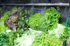 Groene salades Royalty-vrije Stock Foto's