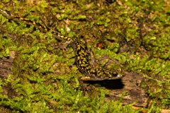 Groene Salamander Dichte Omhooggaand royalty-vrije stock foto