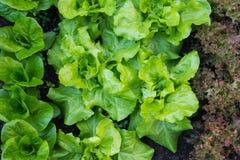 Groene salat Stock Fotografie