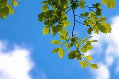 Groene sappige bladeren op de blauwe hemel stock afbeelding