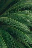 Groene sappige gedetailleerde palmbladen Stock Fotografie