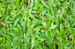 Groene Savannah Tropical Carpet Grass Field Royalty-vrije Stock Afbeelding