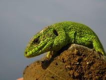Groene schalen stock afbeeldingen