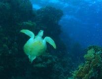 Groene Schildpad stock foto