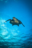 Groene schildpad Stock Afbeelding