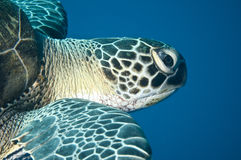 Groene schildpad Royalty-vrije Stock Fotografie