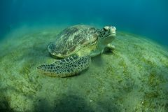 Groene Schildpad royalty-vrije stock foto's