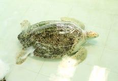 Groene schildpad of Chelonia-mydas Stock Afbeelding