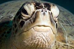 Groene schildpad (cheloniamydas) Stock Foto's