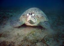 Groene schildpad (cheloniamydas) royalty-vrije stock afbeelding
