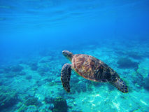 Groene schildpad die in Caraïbisch zeewater zwemmen Zeeschildpad in wilde aard Stock Foto