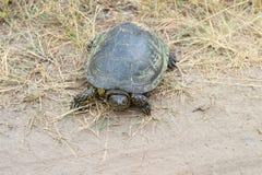 Groene schildpad die langs een landweg kruipen royalty-vrije stock afbeeldingen