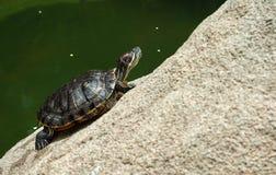 Groene schildpad die op een rots in Hong Kong Park zonnebaden Royalty-vrije Stock Afbeelding