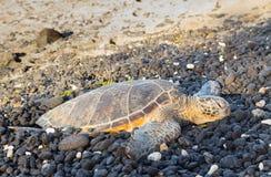 Groene schildpad die op het rotsachtige strand van Hawaï rusten Stock Foto