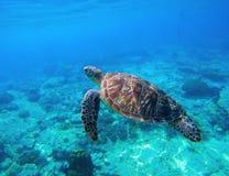 Groene schildpad die in tropisch zeewater zwemmen Zeeschildpad in wilde aard Royalty-vrije Stock Afbeeldingen