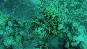 Groene schildpad die zijn snack van koraalrif hebben stock video