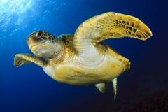 Groene Schildpad in het blauw Royalty-vrije Stock Foto's