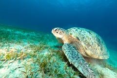 Groene schildpad in het Rode Overzees royalty-vrije stock foto