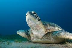 Groene schildpad (mydas Chelonia) Royalty-vrije Stock Foto's