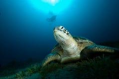 Groene schildpad (mydas Chelonia) Royalty-vrije Stock Afbeelding