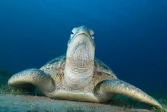 Groene schildpad (mydas Chelonia) Royalty-vrije Stock Foto