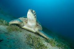 Groene schildpad (mydas Chelonia) Royalty-vrije Stock Fotografie