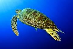 Groene schildpad onder de zon Stock Foto's