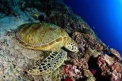 Groene schildpad onder de zon Stock Foto