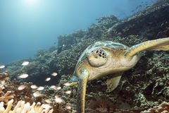 Groene schildpad onderwater Stock Afbeeldingen