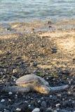 Groene schildpad op rotsachtige kust in Hawaï Stock Foto