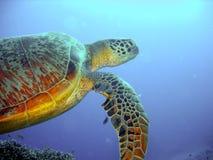 Groene schildpad tijdens de vlucht Royalty-vrije Stock Foto