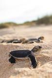 Groene schildpadhatchlings Royalty-vrije Stock Afbeelding