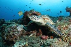 Groene schildpadzitting in tropisch koraalrif stock foto