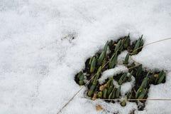Groene schoten van narcissenbloemen in sneeuwtuin royalty-vrije stock afbeeldingen