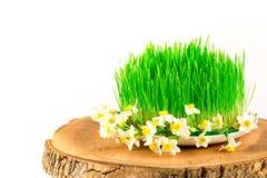 Groene semeni op houten die stomp, met uiterst kleine gele narcissen wordt verfraaid Stock Foto