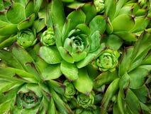 Groene Sempervivum Stock Afbeeldingen
