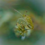 Groene Shieldbug Royalty-vrije Stock Afbeeldingen