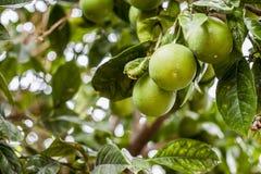 Groene Sinaasappelen Stock Foto