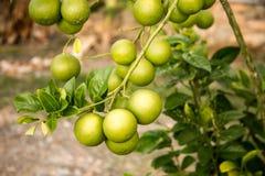 Groene sinaasappelen die op de tak van oranje boom groeien stock afbeelding